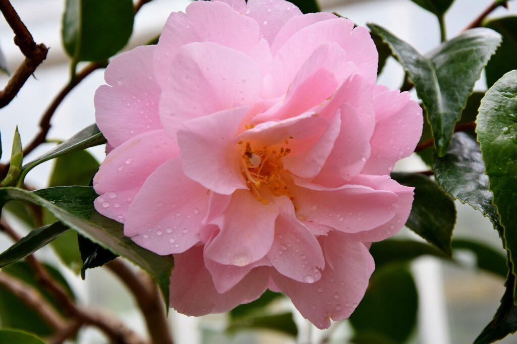faire une bouture de rose