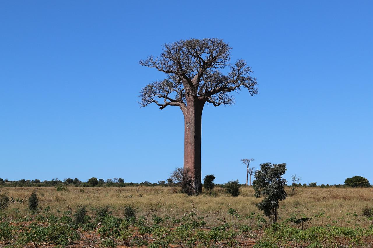faire pousser un baobab de madagascar
