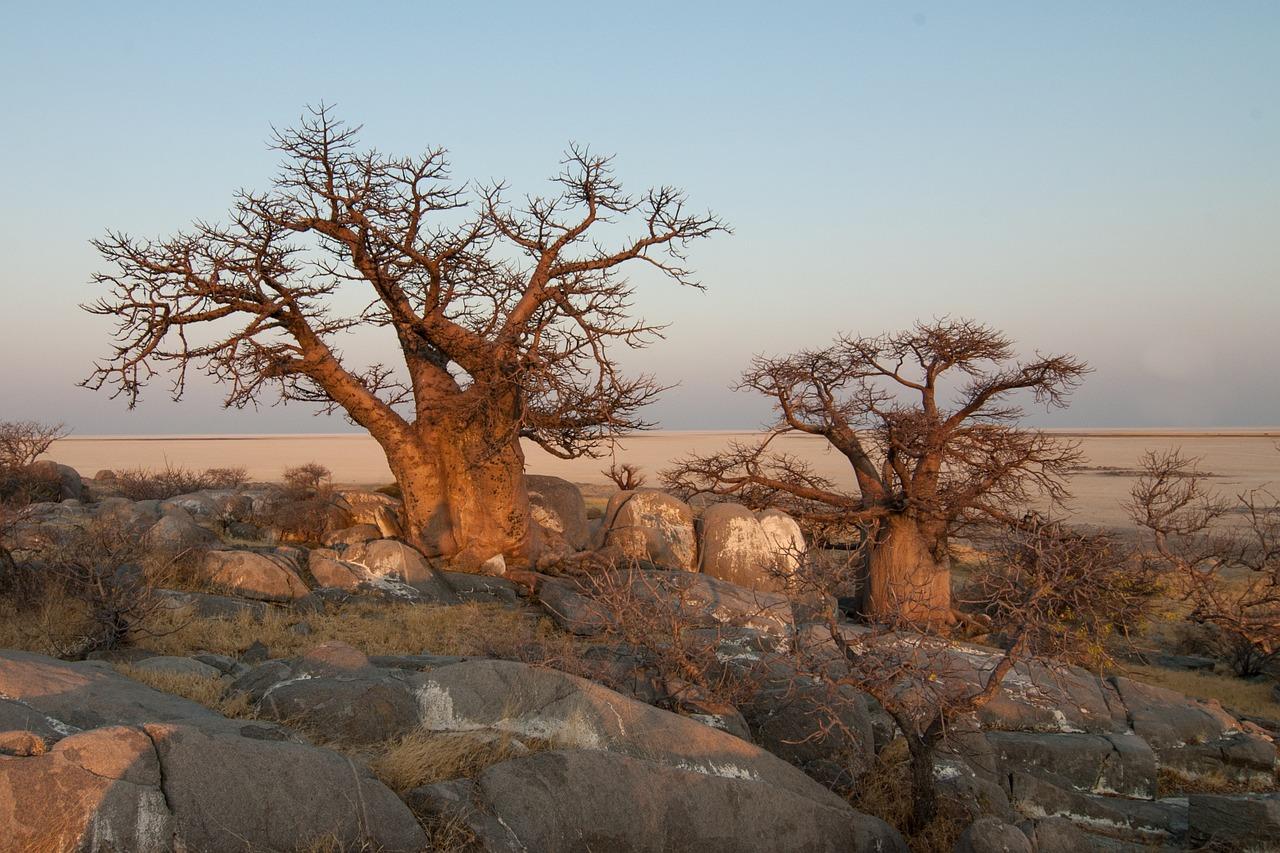 faire pousser un baobab en pot