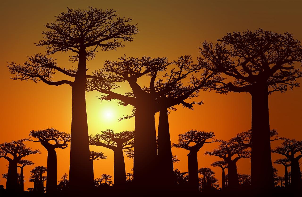 pousse de baobab en pot